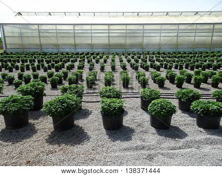 Row after row of neatly arranged chrysanthemum plants ready to bloom with a greenhouse in the background