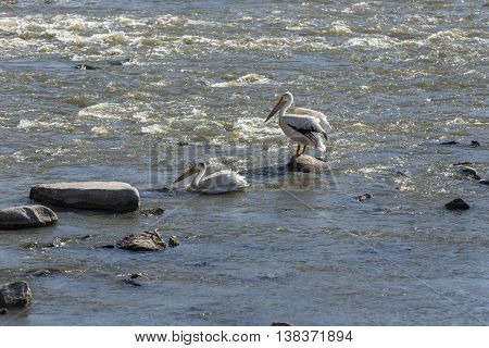 A pair of pelicans in a river.