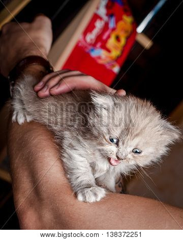 British gray kitten with blue eyes meow in human hands
