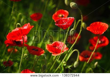 Red Poppy and Bud - field flowers summer