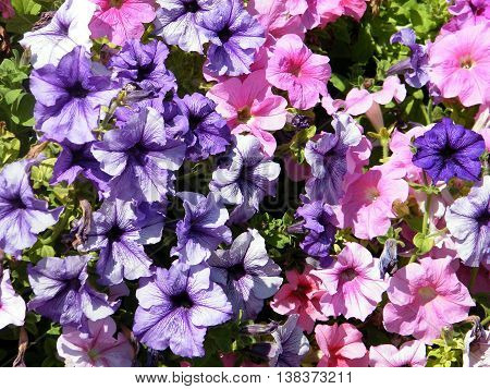 Petunia flowers in park of Ramat Gan 6 October 2010 Israel