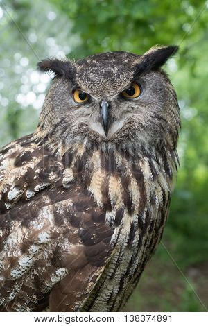 Close-up view of an Eagle Owl (Bubo Bubo) in the forest.