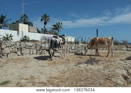 Cattle near beach, San Jose del Cabo, Baja California Sur, Mexico