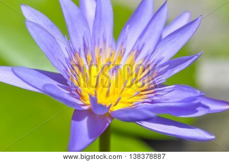 florescent purple lotus in the pond