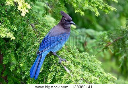 Steller's Jay in rain forest. Cypress Mountain Provincial Park West Vancouver British Columbia Canada.