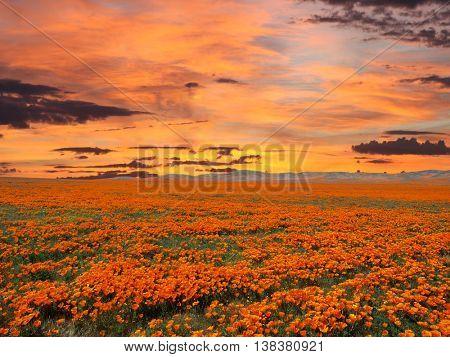 California poppy field with sunrise sky.