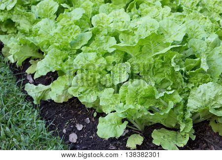 lettuce in the vegetable garden at farm