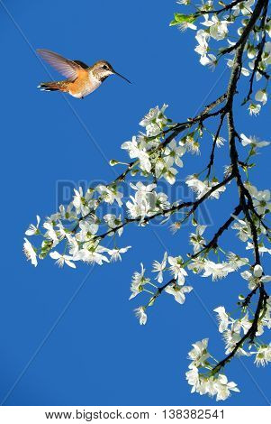 Tree in full white blossom and Rufous Hummingbird on sunny day in spring vertical image