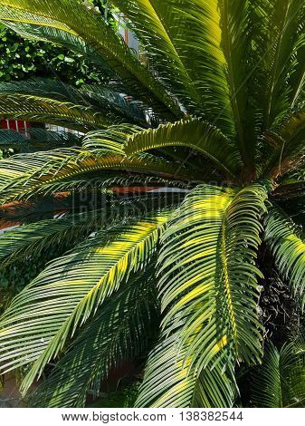 fresh green palm leaves in nature garden