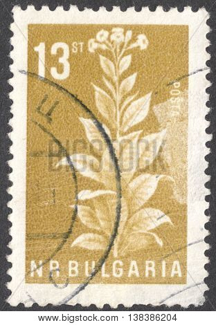 MOSCOW RUSSIA - CIRCA JANUARY 2016: a post stamp printed in BULGARY shows a tabak plant (Nicotiana tabacum) the series