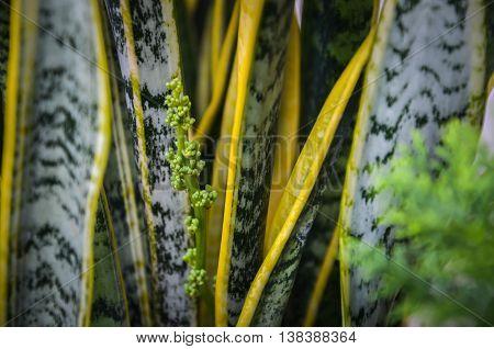 Sansevieriya flower (tree tonque dragon) select focus
