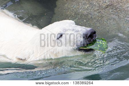 Close-up Of A Polarbear (icebear)