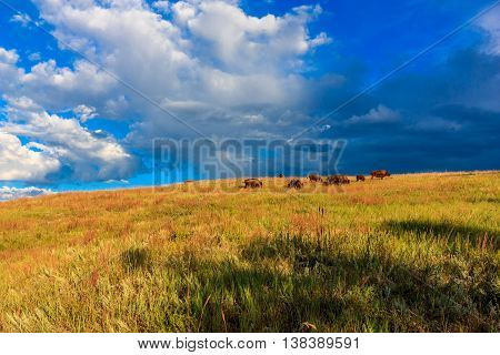Buffalo on the prairie under stormy blue clouds at Wind Cave National Park