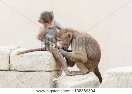 Baby Baboon Sitting On The Rocks
