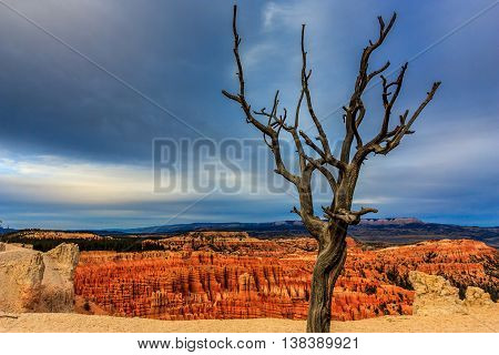 A gnarled tree on the edge of Bryce Canyon on a stormy evening