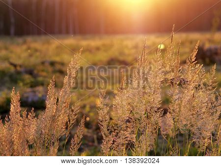 Tuft grass Calamagrostis epigeios on a sunset on the grass background.