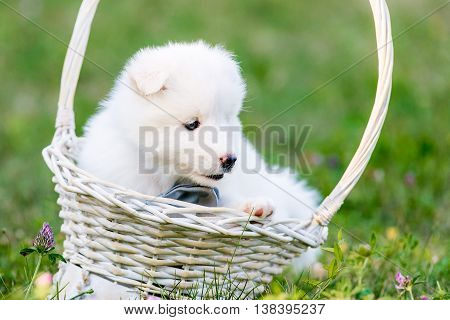 Samoyed puppies sitting in a basket one month old