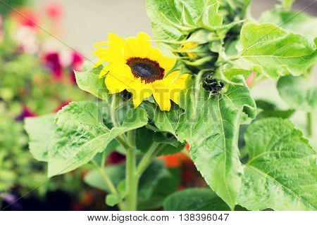 gardening, flowers, nature and botany concept - close up of blooming sunflower in garden