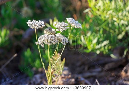 White Ammi Flowers