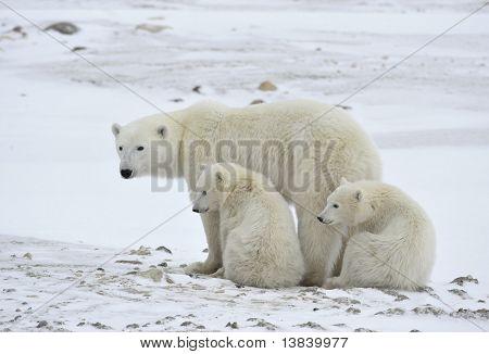 Polar sie tragen mit jungen.