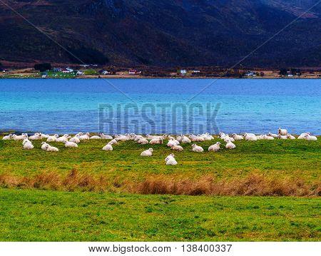 Horizontal vivid Norway sheep flock fjord background backdrop