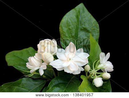 Fresh Jasmine flowers with leaves isolated on black background.