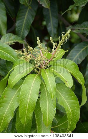 close up fresh green mango leaves in nature garden