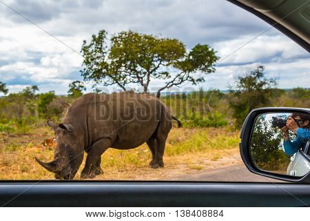 Huge rhino peacefully nibbling the grass on side of the road. The woman photographs him from a car window.  South Africa, Kruger National Park