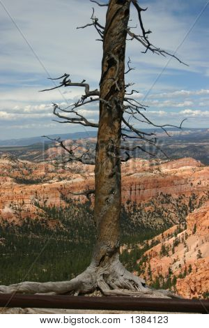 A Lone Bristlecone Pine At Bryce Point