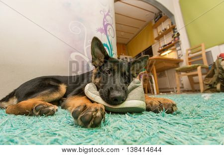 German shepherd puppy, eating shoes. Laying on the floor.