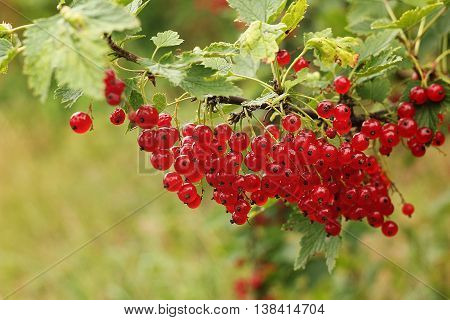 Red currant bush. Stock photo, summer beautiful shot. Group of branches.