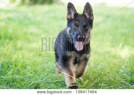 Cute German Shepherd puppy, running outdoor. Green lawn background. Playful dog.