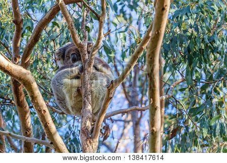 Koala bear sleeping high on eucalyptus tree closeup