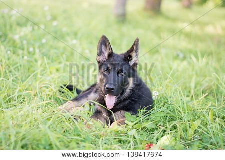 Cute German Shepherd puppy, playing outdoor. Green lawn background. Playful dog.