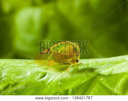 Cicada On Lettuce