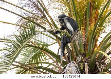 Angolan black and white colobus sitting on a branch on a palm tree
