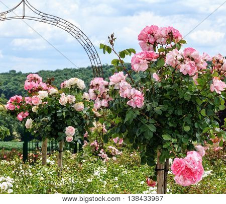 A row of pink Standard Roses in a garden
