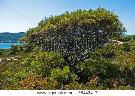 Mediterranean pine tree on a coast of a small uninhabited island near coast of Sithonia, Greece