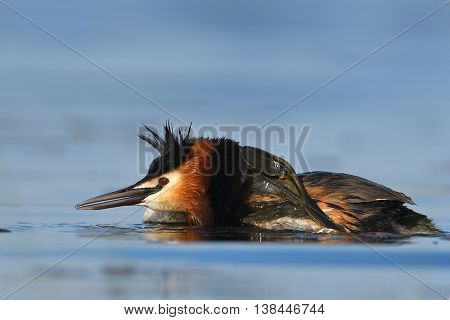 water bird on the lake in spring (podiceps cristatus)