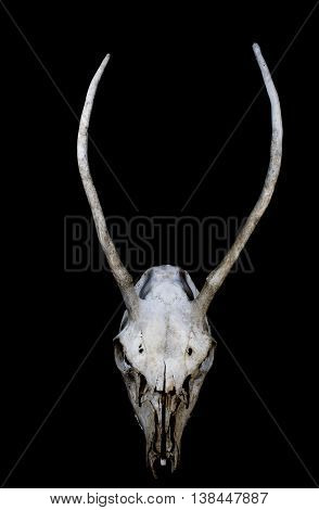 Deer Skull with long antlers on black background