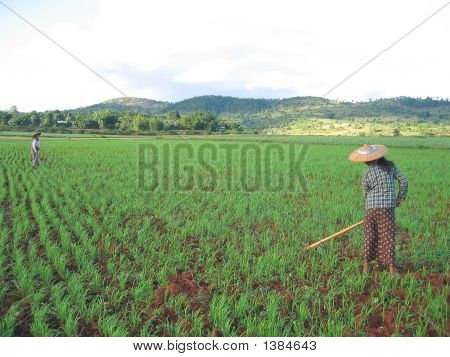 Two Farmer Women Working In A Ricefield, Kalaw, Myanmar