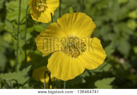 Yellow Windpoppy (Stylomecon heterophylla) close up √