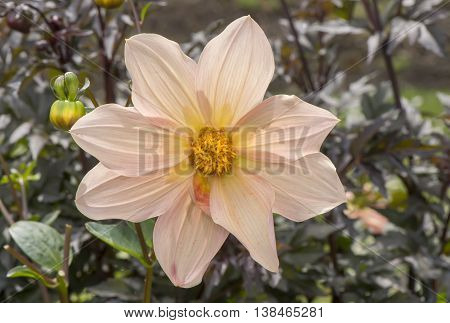 Pale pink Dahlia flower close up with a background of leaves