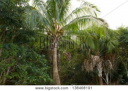 Florida Sanibel and Captiva island coconut palm trees in US