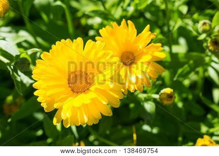 Flowers calendula herb used in traditional medicine