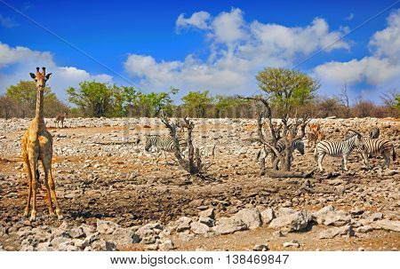 A vibrant waterhole in Etosha National Park with giraffe and herd of zebra with a natural cloudy blue sky
