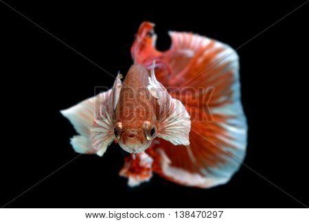 Red and white Haft moon tail Betta fish or Siamese fighting fish photo in flash studio lighting.