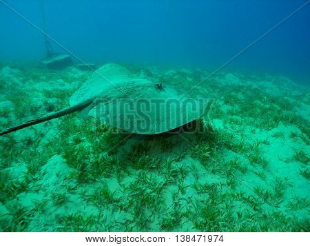 Stingray on the sandy bottom of the red sea