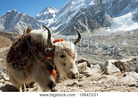 yak in Himalaya