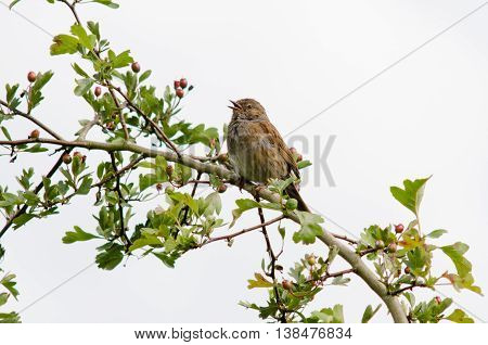 Dunnock (Prunella modularis) bird in song. One of the Accentors (family Prunellidae) with beak open singing from hawthorn branch